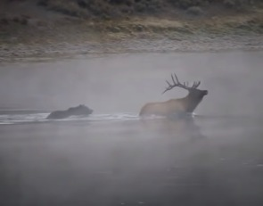 New Footage of Grizzly Bear Taking Down A Bull Elk In The Yellowstone River