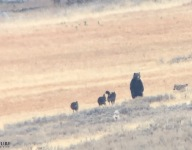 Grizzly Bear vs. Wolfe Pack Filmed in Yellowstone | 'Once in a Lifetime' Sighting