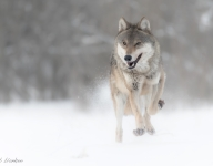 Wisconsin Hunters Kill 113% Of Statewide Wolf Quota In Less Than 3 Days