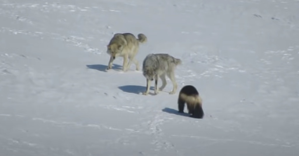 VIDEO: Wolverine Fends Off Two Attacking Wolves