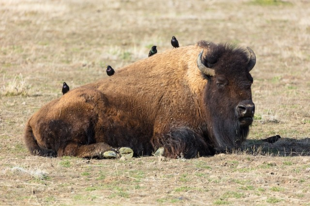 Bison Injures Hiker in Yellowstone National Park