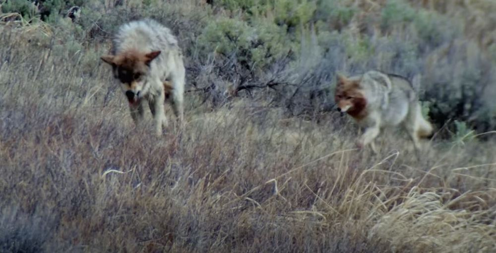 Injured Grey Wolf Takes On Coyote Pack Over Dead Bison