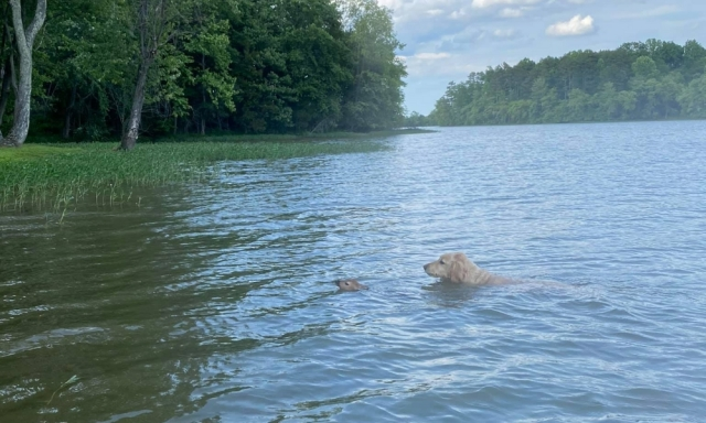 Goldendoodle Rescues Distressed Fawn From Virginia Lake