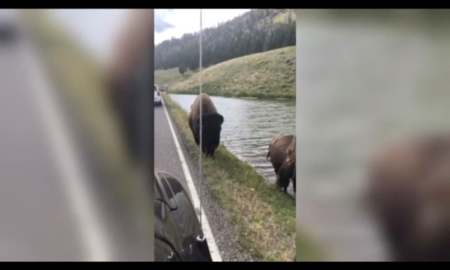 VIDEO: Yellowstone Bison Charges Car, Pops Tire