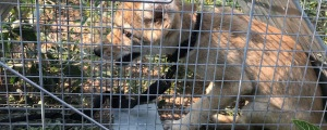 Colorado Woman Bitten By Coyote Pup Found Wearing Collar & Leash