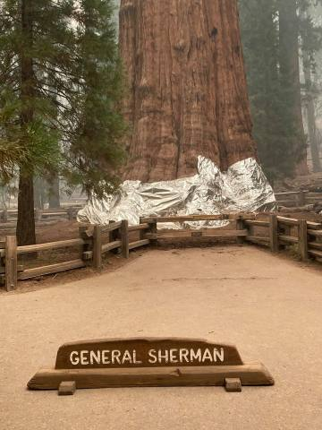 California Firefighters Wrap World's Largest Trees In Fire Resistant Foil As Wildfire Approaches