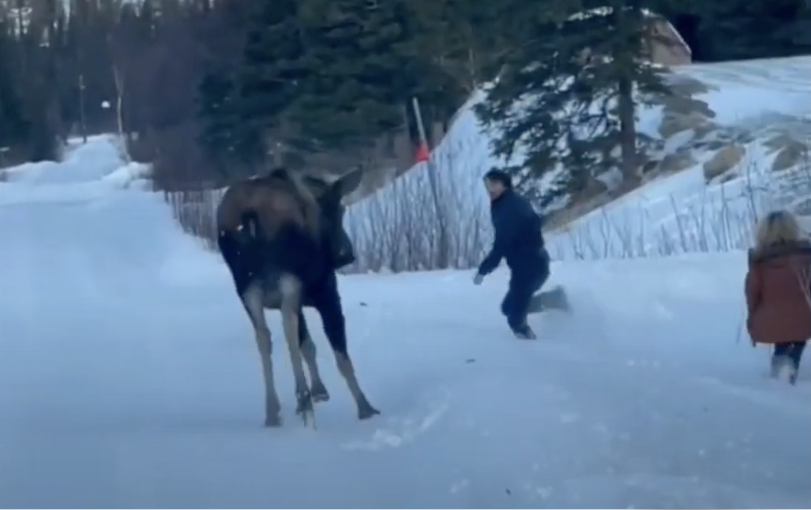 Footage of Brave Man Standing Up To A Charging Moose in Alaska