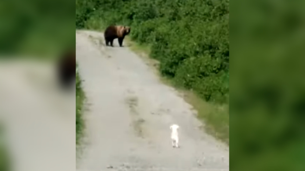 Tiny Dog Shows It's Not Afraid of Grizzly