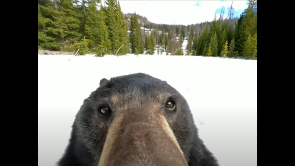 Bear Discovers GoPro Lost In Snow, Turns It On