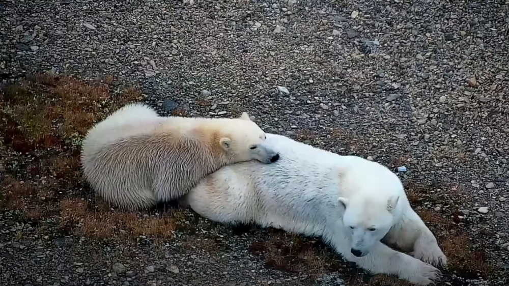 Multiple Polar Bears Captured Lounging In Canada- Awesome Footage!