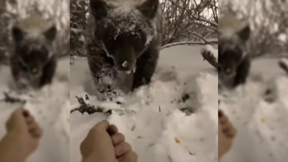 Ignorant Person Pets and Feeds Wild Bear In South Lake Tahoe